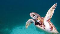 Tortue snorkeling Belize