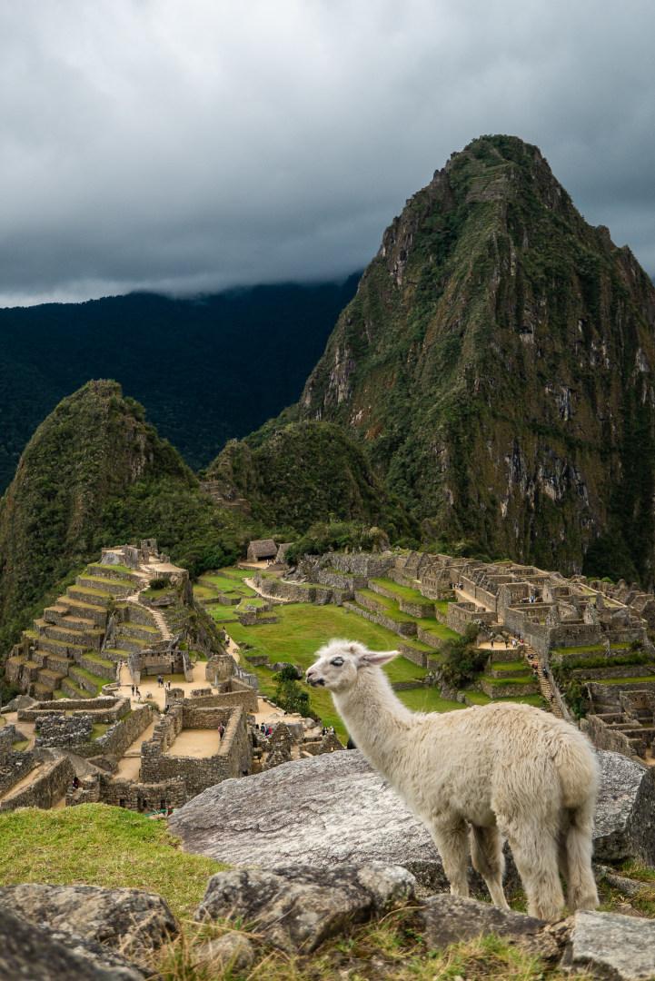 Lama avec le Machu Picchu