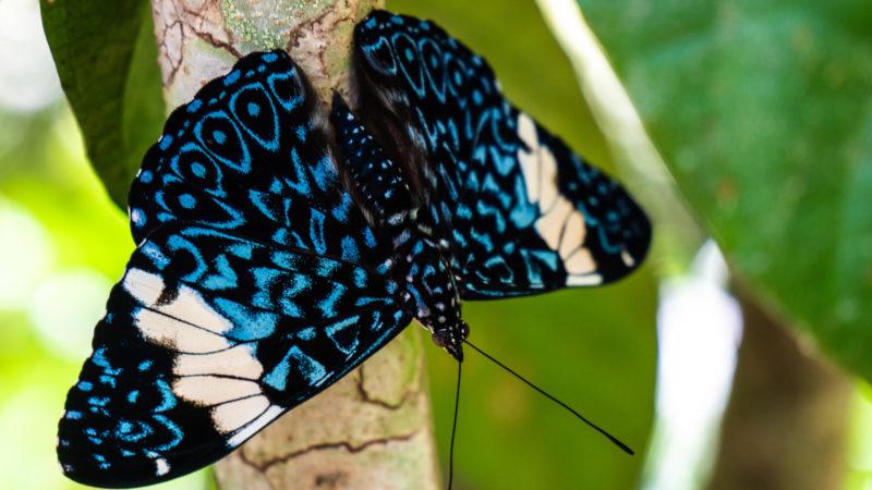 Papillon Puerto Maldonado