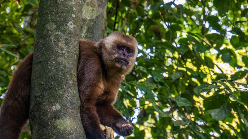 Singe isla de los Monos Puerto Maldonado
