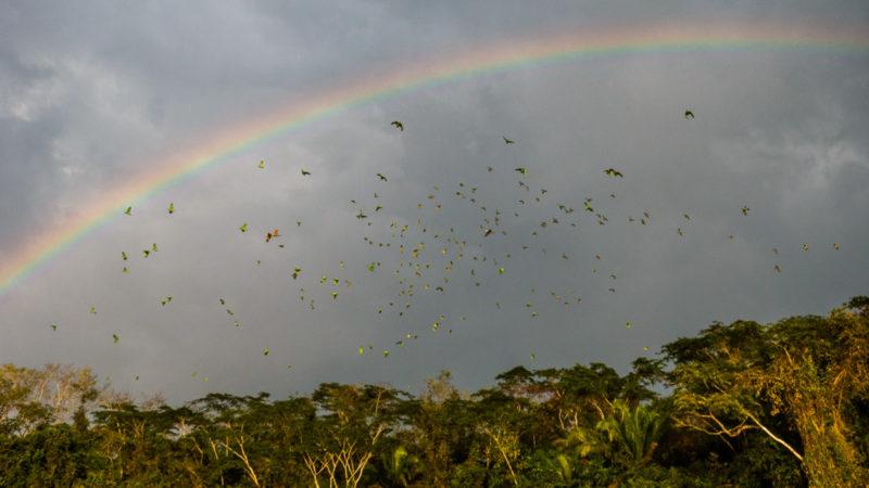 Perroquets en vol Puerto Maldonado