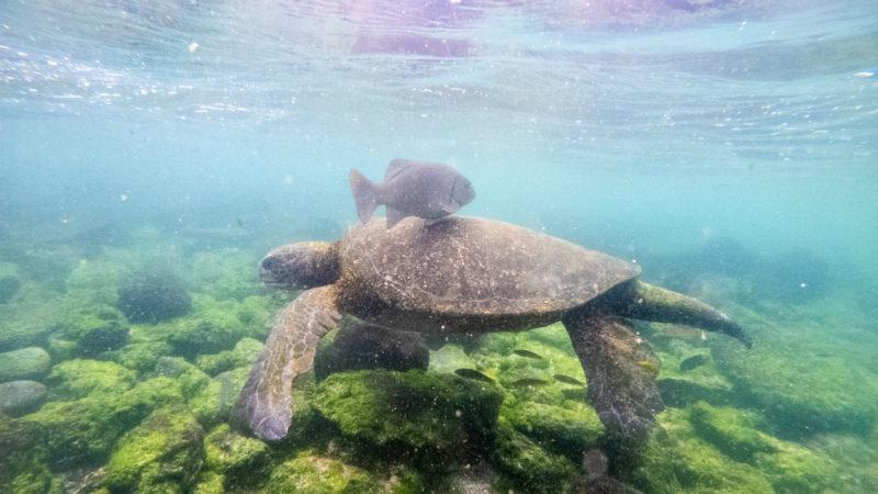 Tortue Playa Loberia San Cristobal galapagos