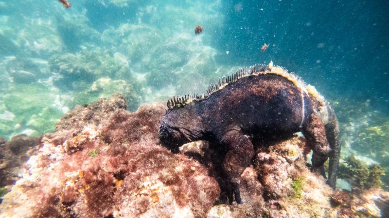 Iguane Marin sous l'eau San Cristobal Galapagos