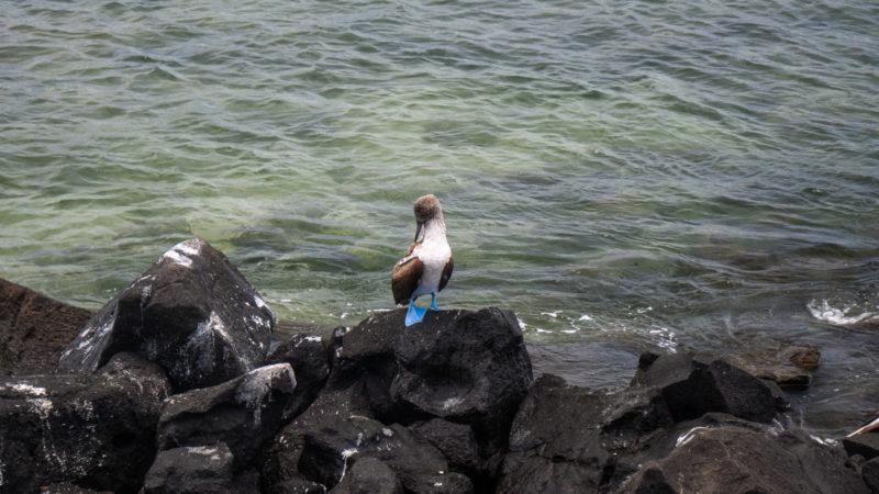 Bobby à patte bleu San Cristobal Galapagos