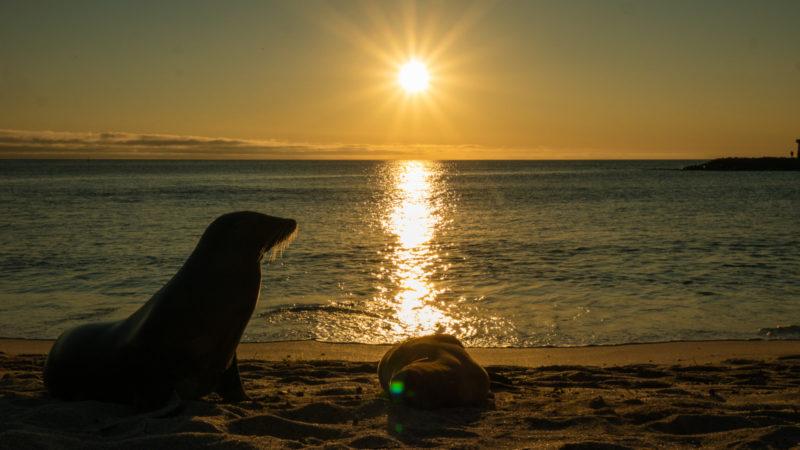 Lion de mer au coucher de soleil San Cristobal Galapagos