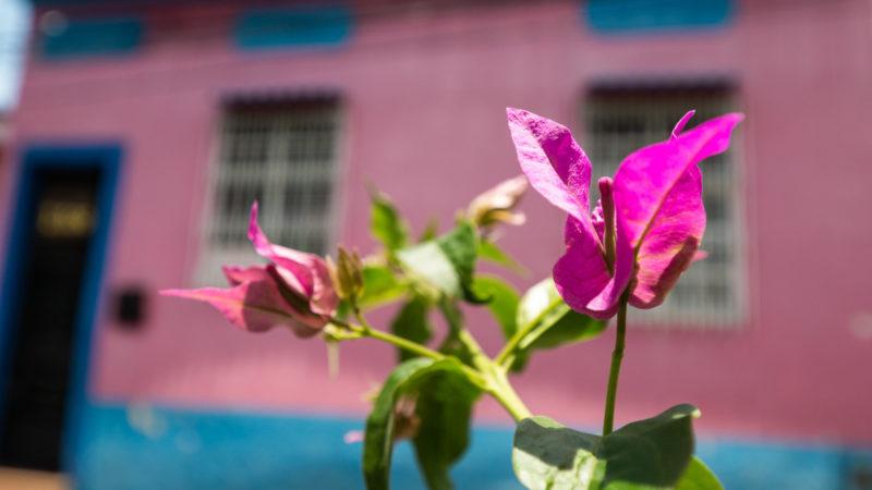 Fleur rose en avant d'une maison rose Cali