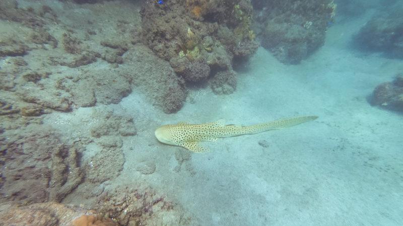 Requin zèbre Fidji