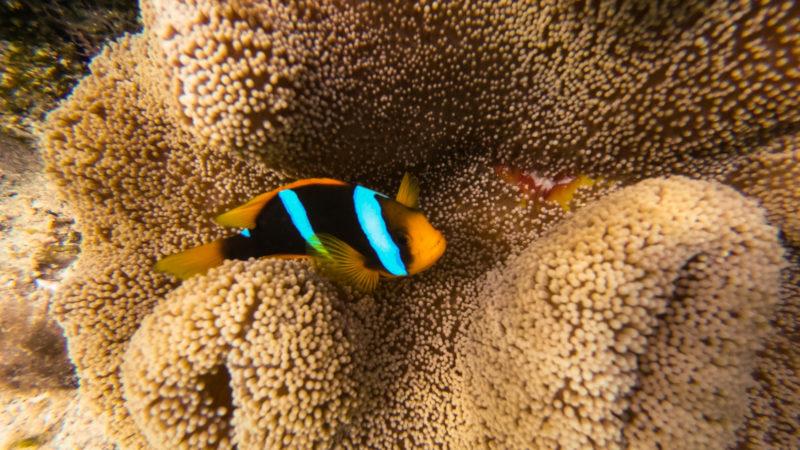 Poisson Clown Fidji